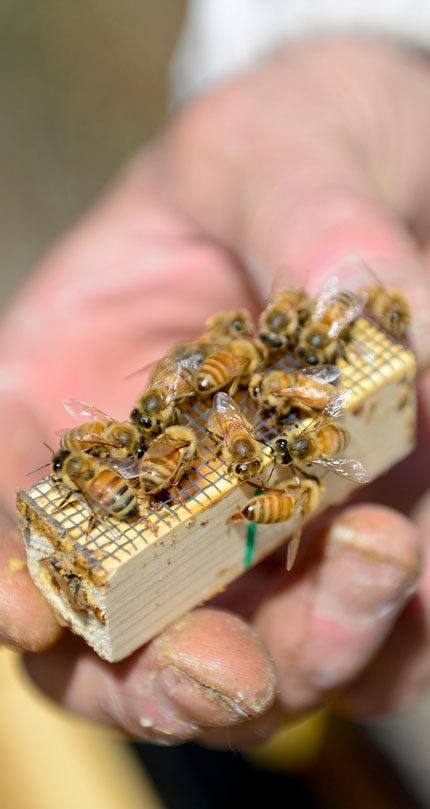 Tim Brod holds a queen bee surrounded by bees attracted by her pheromones